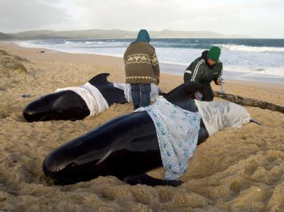 Helfer kümmern sich in Neuseeland um gestrandete Wale. Archivfoto: Malcolm Pullman