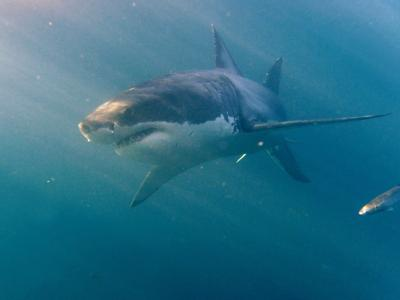Bei einer Hai-Attacke vor Australien ist ein Surfer ums Leben gekommen. (Symbolbild)