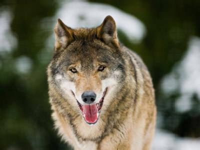 100 bis 120 Wölfe streifen nach Angaben von Experten derzeit durch Deutschland. Foto: Patrick Pleul