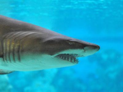 Auf den Seychellen ist ein britischer Tourist von einem Hai getötet worden. (Symbolbild)
