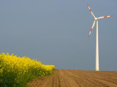 Ein Windrad an einem blühenden Rapsfeld in Brandenburg.