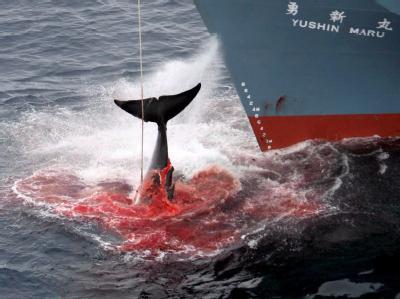 Ein harpunierter Wal wird an Bord eines japanischen Walfangschiffes gezogen. (Archivbild; Foto: Greenpeace/Jeremy Sutton-Hibbert)