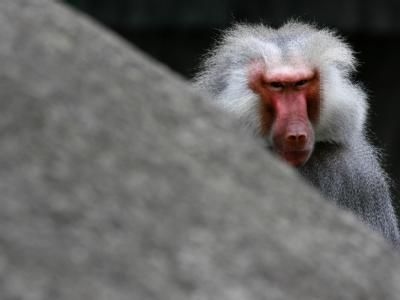 Ein Mantelpavian im Zoo. In Saudi-Arabien hat ein Tier beinahe ein zweijähriges Kind entführt.