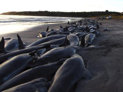 In Neuseeland sind etwa 80 Grindwale gestrandet. Hier die Aufnahme eines ähnlichen Ereignisses in Tasmanien.