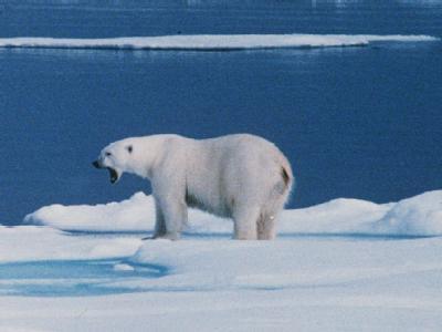 Ein Eisbär auf einer Eisscholle bei Spitzbergen. (Archivbild)