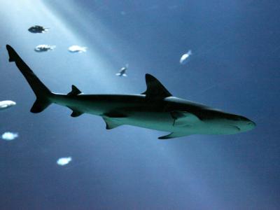 Das Inselparadies Palau hat die die erste Schutzzone der Welt für Haie in der Südsee eingerichtet. (Symbolbild)