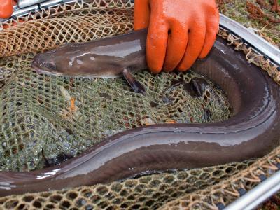 Wissenschaftler fordern ein absolutes Fangverbot für den Aal.