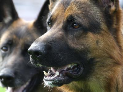 Sch�ferhunde