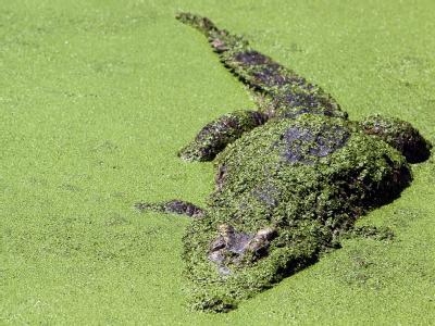 Ein Krokodil im Becken einer thailändischen Krokodil-Farm (Archivbild). Mindestens zwei Dutzend der gefährliche Reptilien konnten nun entkommen.