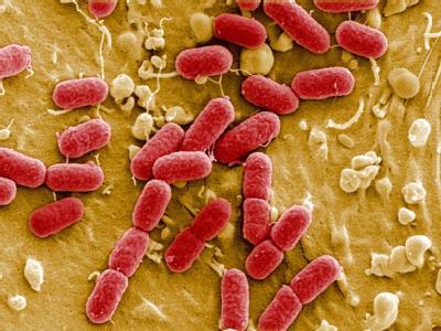 EHEC-Bakterien