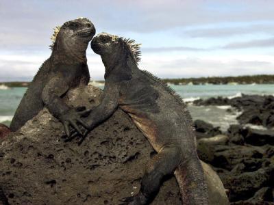 Meerechsen bei Puerto Ayora auf den Galapagos-Inseln: Das Welterbekomitee der UNESCO hat die Galapagos-Inseln von der Roten Liste der gefährdeten Kultur- und Naturdenkmäler gestrichen.