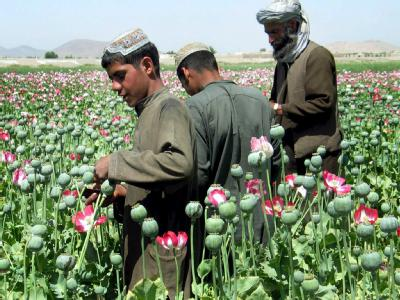 Afghanische Bauern bei der Ernte in einem Mohnfeld in der Nähe von Kandahar.
