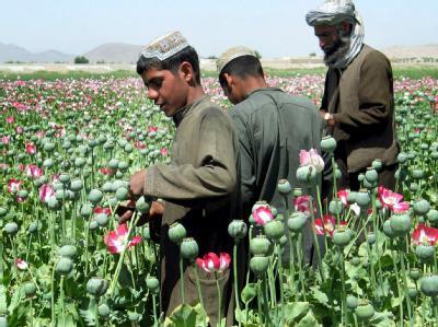 Afghanische Bauern am 26.04.2005 bei der Ernte in einem Mohnfeld in der Nähe von Kandahar.