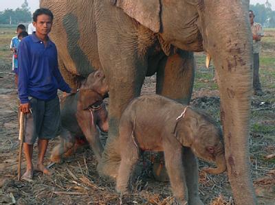 Zwillingsgeburten sind bei Elefanten höchst selten.