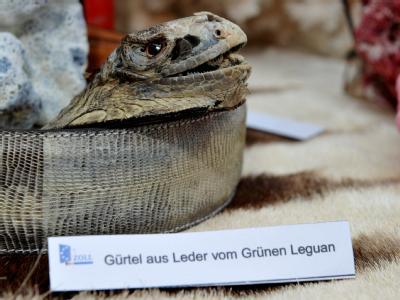 Ein sichergestellter Gürtel vom Grünen Leguan wird vom deutschen Zoll präsentiert. Die Fahnder stellten rund 160 000 Tiere, Pflanzen und exotische Mitbringsel sicher.