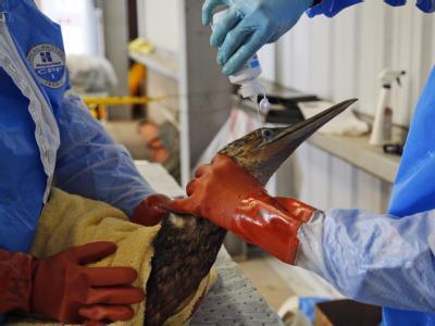 Augentropfen für einen ölverschmierten Vogel: Tausende Tiere sind von der Ölpest im Golf von Mexiko bedroht.
