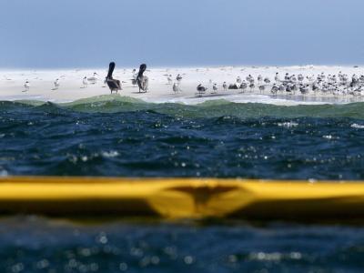 Pelikane hinter Öl-Barriere