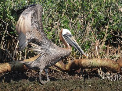 Ein ölverschmierter Pelikan an der Küste des US-Bundesstaats Louisiana.