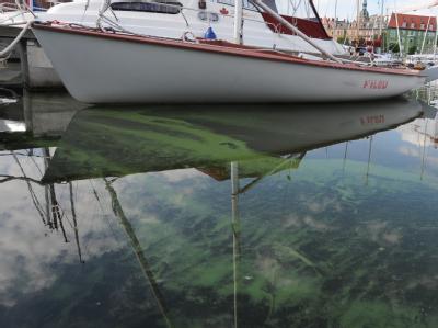 Blaualgenteppiche schwimmen im Hafen von Stralsund an der Ostseeküste.