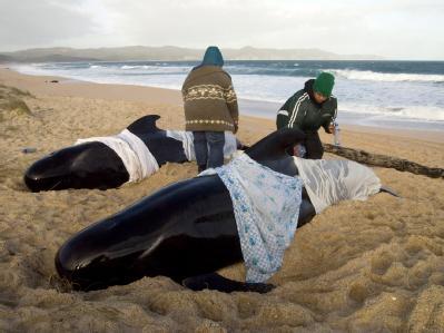 Kampf um das Leben der Wale: Helfer wickeln nasse Tücher um die gestrandeten Grindwale.