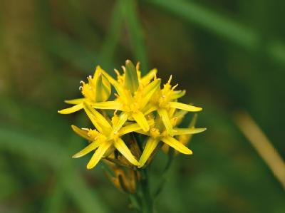 Moorlilie ist «Blume des Jahres 2011»