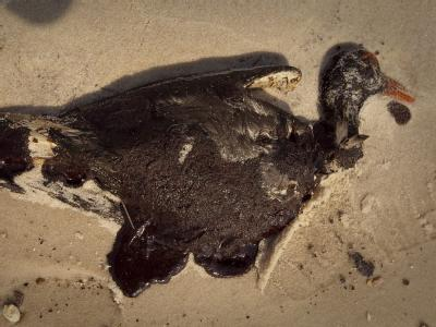 Toter Austernfischer am Strand nahe Waveland (Mississippi): Durch die Ölpest im Golf von Mexiko sind möglicherweise über 6000 Vögel und 600 Meeresschildkröten getötet worden.