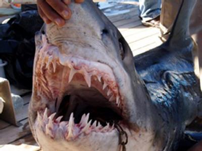 Blick ins Maul eines vorScharm al-Scheich in Ägypten gefangenen Hais.