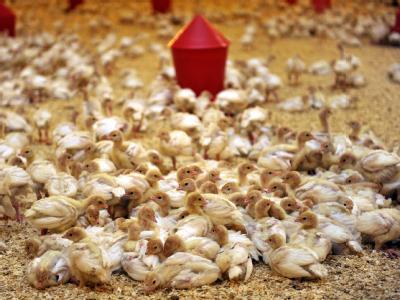 Zwei Wochen alte Putenküken leben in einem Stall auf einem Geflügelhof im Kreis Oldenburg. Bei den Landwirten inNiedersachsen wächst die Empörung über die Dioxin-Funde.