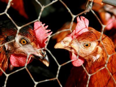 Nach einem Zeitungsbericht kommt noch in diesem Jahr ein Komplettverbot für den Neubau von Käfiganlagen für Hühner beziehungsweise neue Anlagen für Käfighaltung in «Kleingruppen».