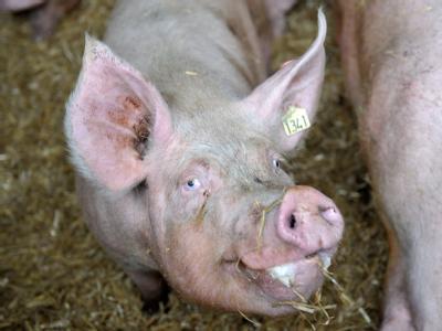 Schweinehaltung