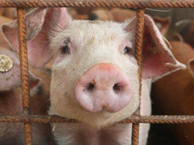 Jetzt ist auch in Schweinefleisch ein erhöhter Dioxinwert nachgewiesen worden.
