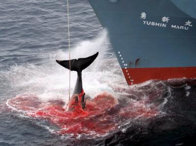 Ein harpunierter Wal wird an Bord eines japanischen Walfangschiffes gezogen. (Archivfoto/Quelle: Greenpeace). Jetzt bricht Japan die Walfangsaison ab.
