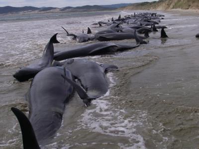 Gestrandete Wale