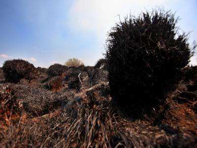 Verbrannte Grasbüschel im Hohen Venn bei Eupen: Der Flächenbrand ist der größte seit 60 Jahren.