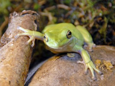 Der getötete Frosch - hier das Bild eines Laubfrosches im Wildpark Eekholt - konnte nach Ansicht seines Besitzers gar nicht quaken.