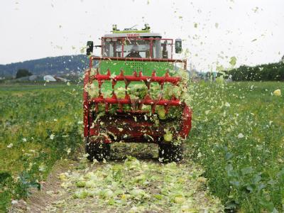 Ein Bauer schreddert Salatköpfe auf einem Feld in Ronnenberg bei Hannover. Obwohl spanische Importgurken als ein Träger des gefährlichen Darmkeims identifiziert worden sind, sind die Verbraucher auch bei deutschem Gemüse sehr skeptisch.