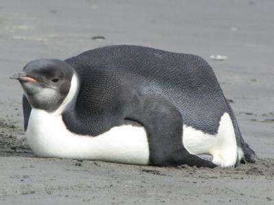 Verirrter Pinguin