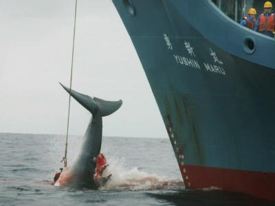 Das Schiff Yushin Maru der japanische Walfangflotte verletzt mit einer ersten Harpune einen Wal und tötet das schwer verletzte Tier anschließend mit drei weiteren Harpunen. Die Walfangländer Japan, Norwegen und Island haben bei der 63. Internationalen Wal