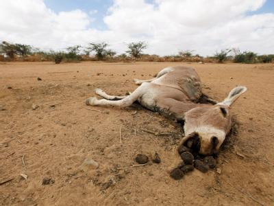 Der Kadaver eines verdursteten Esels im Nordosten Kenias. Archivbild: Dai Kurokawa