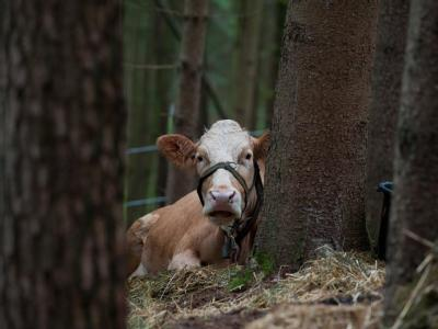 Kuh Waltraut wartet