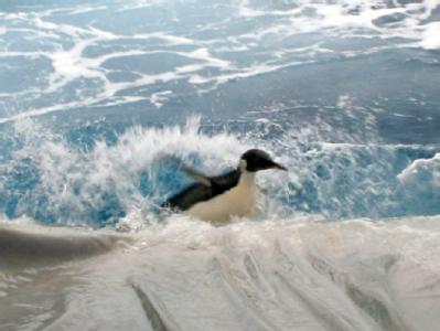 Verirrter Kaiserpinguin auf der Rückreise in die Antarktis