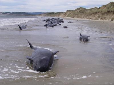 Gestrandete Wale in Neuseeland. Foto: Archiv