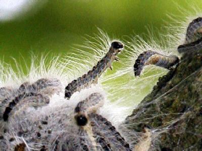 Raupen des Eichenprozessionsspinners kriechen auf einem Baumstamm entlang. Die für den Menschen gefährliche Raupe des Eichenprozessionsspinners breitet sich in Deutschland immer weiter aus. Foto: Bernd Settnik/Archiv
