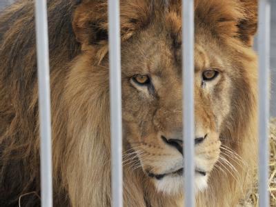 Durch Gitterstäbe hindurch beäugt ein Löwe auf dem Gelände eines Zirkus in Frankfurt den Fotografen. Foto: Boris Roessler dpa/Archiv