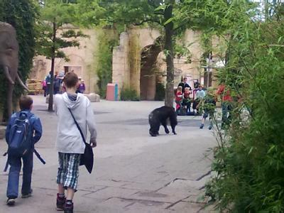 Ein ausgebrochener Schimpanse läuft im Zoo Hannover neben den Besuchern durch den sogenannten Dschungelpalast. Fünf von sieben Schimpansen waren ausgebrochen. Foto: Laura Becker