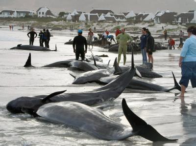 55 Grindwale sind an der Küste vor Kapstadt gestrandet.