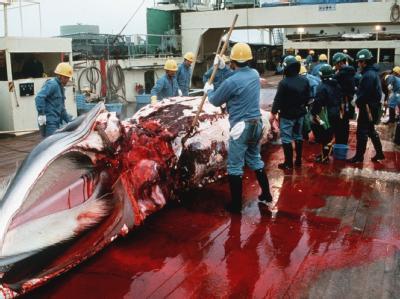 Grönland darf auf Beschluss der Internationalen Walfangkommission (IWC) künftig auch Buckelwale jagen. (Symbolbild).