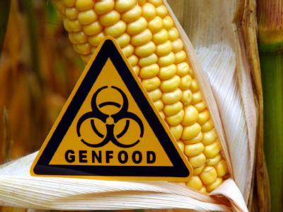 In sieben Bundesländern ist trotz Anbauverbots mit «Genmais» verunreinigter Mais ausgesät worden.