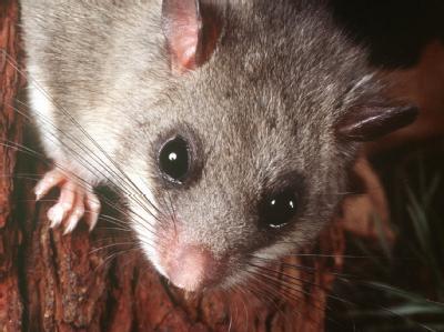 Putziger kleiner Nager: der Siebenschläfer. Für den Siebenschläfertag ist er allerdings nicht der Namensgeber.