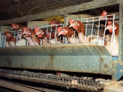 Dichtgedrängt stehen Hühner in einer Legebatterie (Archivfoto). Noch in diesem Jahr könnte es ein Verbot für den Neubau von Käfiganlagen für Hühner geben - sagt Verbraucherschutzministerin Aigner.